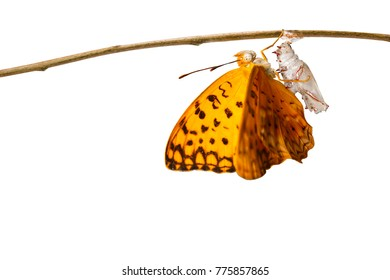 Isolated emerged of common leopard butterfly ( Phalanta ) hanging on twig
