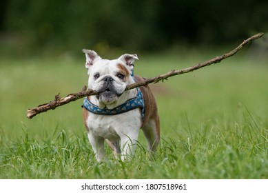 Isolated English bulldog with a stick in her mouth
