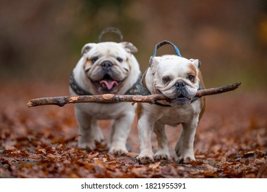 Isolated English bulldogs playing with a stick in the forest during fall
