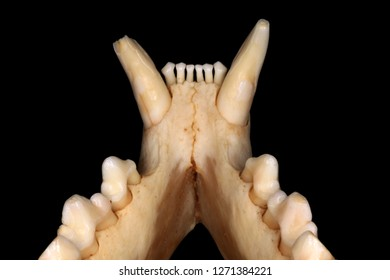 Isolated Eurasian lynx (Lynx lynx (Linnaeus, 1758)) mandible teeth (inner view) against a black background