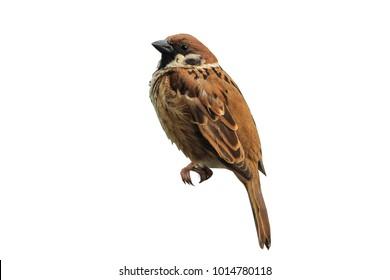Isolated Eurasian Tree Sparrow,bird standing on ground white background