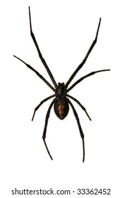 Isolated Female Black Widow over a white Background