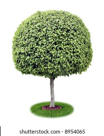 Isolated ficus tree [ficus benjamina].