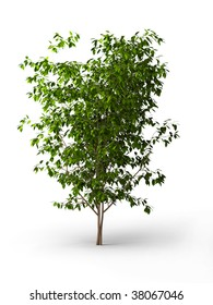 Isolated ficus Weeping fig Benjamin tree, Benjamin fig Java tree, Java fig Small leaved rubber plant Tropic laurel Weeping chinese banyan Weeping laurel at white background
