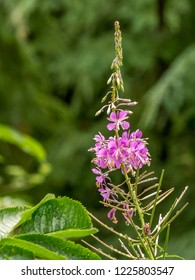 Isolated fireweed blossom with copy space and blurred green background