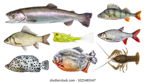 Isolated fish set, collection. Side view of live fresh fish. Rainbow trout, river perch, crucian carp, european roach, horned boxfish, panther grouper, red piranha, crawfish