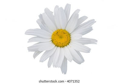 The isolated flower of a camomile on a white background.