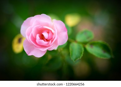 isolated flower in a garden