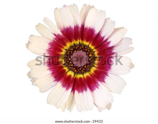 Isolated flower head of Chrysanthemum carinatum