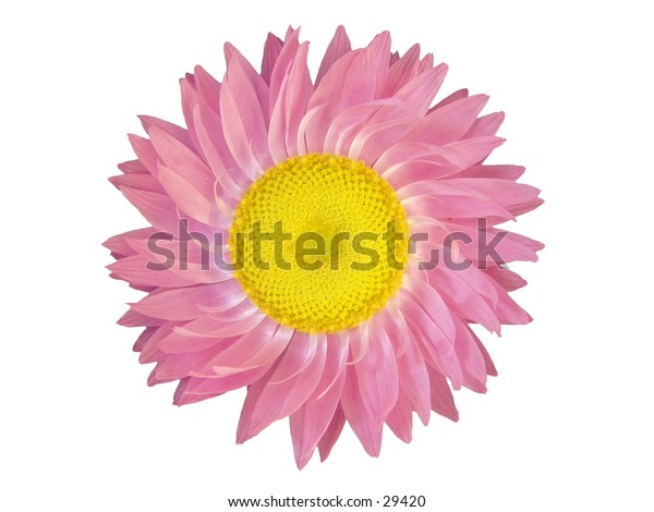 Isolated flower head of Helichrysum.