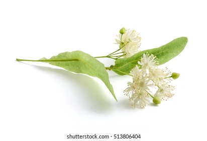 Isolated flower of the linden on the white background
