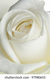 isolated flower on white: a white rose