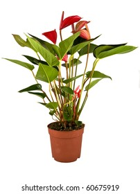 Isolated flower in pot: Anthurium Robino