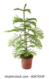 Isolated flower in pot: Araucaria