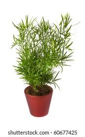 Isolated flower in pot: Asparagus Sprengeri