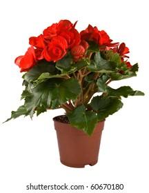 Isolated flower in pot: Begonia Elatior gemengd