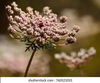 Isolated flower of wild carrot in foreground