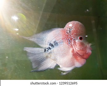 Isolated flowerhorn cichlid swimming in a fish tank.