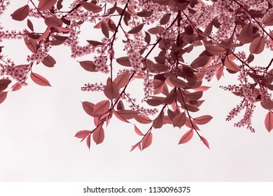 Isolated flowering tree, toned pink