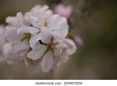 Isolated flowers of almond tree in full splendor with raindrops