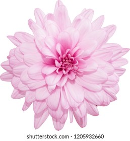 Isolated flowers of pink chrysanthemum on a white background