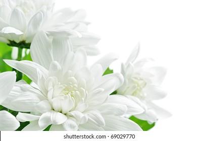 Isolated flowers. White chrysanthemum isolated on white background, closeup shot