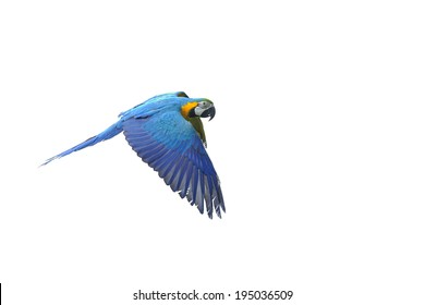 Isolated flying blue-and-yellow Macaw- Ara ararauna from side