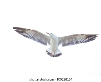 isolated flying common seagull on white background