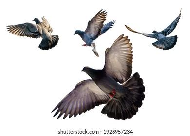 Isolated, flying pigeons, white background