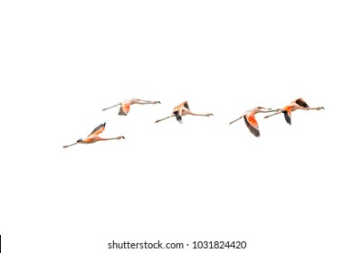 Isolated Flying Rosy Flamingos at Nimez Birds Reservation area, Patagonia, Argentina