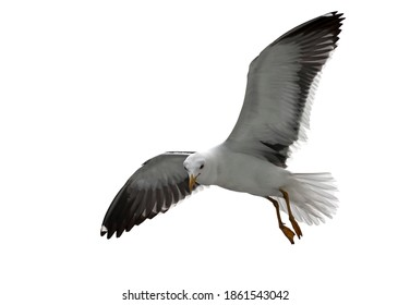 Isolated flying seagull. Lesser Black-backed Gull (Larus fuscus).