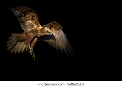 Isolated flying Western Marsh Harrier. Black background. Bird: Western Marsh Harrier. Circus aeruginosus.