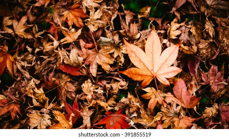Isolated focus of dry maple leaf on the ground, vignette effect