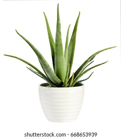 Isolated fresh Aloe vera plant in a flowerpot with its succulent leaves from which the soothing sap used for healing and medicinal purposes is derived