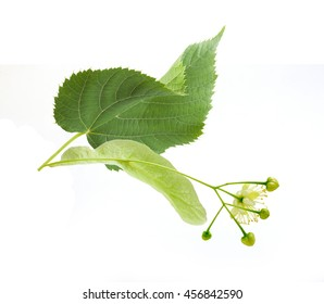 Isolated fresh flower and leaf of linden on the white