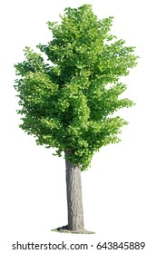 Isolated fresh green ginkgo tree on a white background