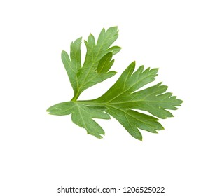 Isolated fresh green leaf of parsley on the white background