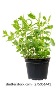 Isolated fresh mint plant in a flower pot