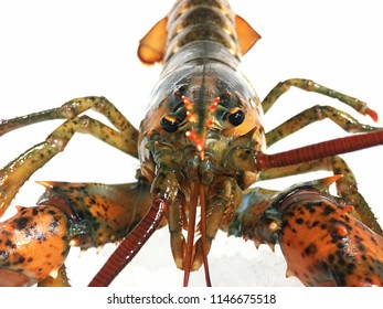 Isolated fresh red lobster seafood  closeup