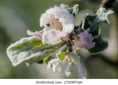 Isolated frozen apple tree blossoms during the ice saints