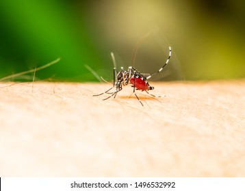 Isolated full blood on mosquito body while bite human skin , this mosquito is Dengue Carrier to human.