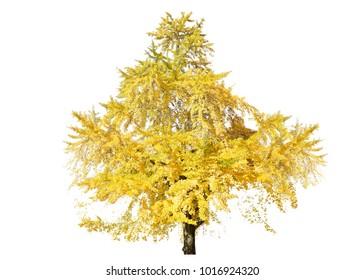 Isolated Ginkgo tree on white background.