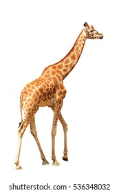 Isolated giraffe on the white background
