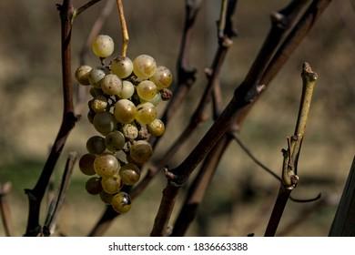 Uvas aisladas colgadas en un viñedo de otoño
