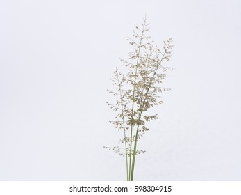isolated grass flower on white background