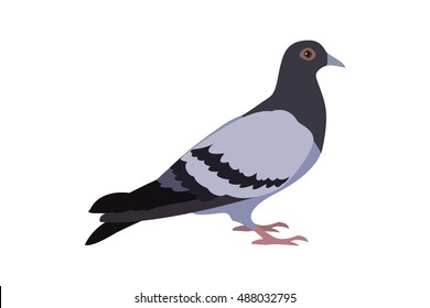 Isolated gray pigeon on a white background