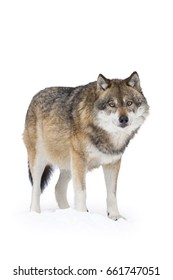 Isolated Gray wolf standing in snow