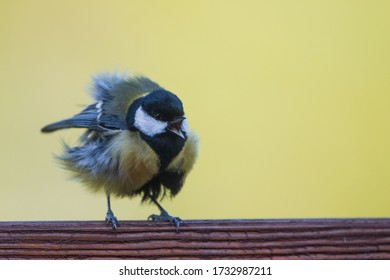 Isolated great tit perching with tousled feathers