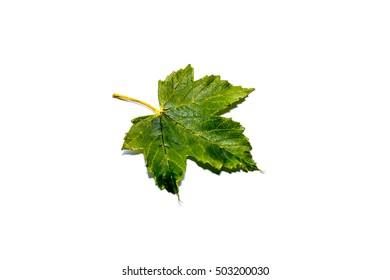 Isolated green autumn maple leaf