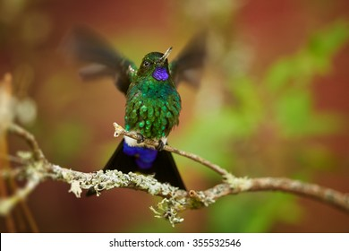 Isolated green and blue glittering Glowing Puffleg, Eriocnemis vestita, hummingbird with blurred, outstretched wings perched on mossy twig against colorful leaves of colombian rainforest background.
